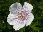 Géranium vivace de l'Himalaya, Geranium himalayense