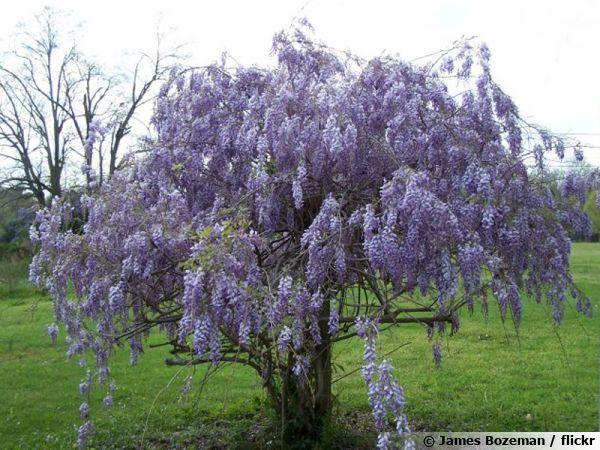 Glycine conduite en arbre