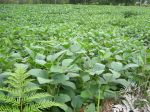Culture de soja, Glycine max