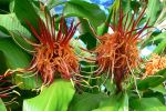 Gingembre épiphyte, Hedychium longicornutum