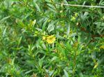 Sinicuichi, Heimia à feuilles de saule, Sini, Heimia salicifolia