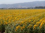 Un champ de Tournesol, Helianthus annuus