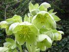Hellébore de Corse, Helleborus argutifolius