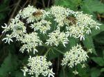 Berce commune, Berce spondyle, Patte d'ours, Panais sauvage, Heracleum sphondylium