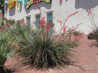 Yucca rouge, Yucca corail, Faux-yucca, Hesperaloe parviflora
