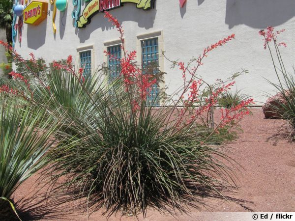Yucca rouge, Yucca corail, Faux,yucca