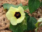 Hibiscus jaune citron, Hibiscus calyphyllus