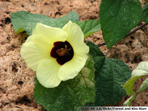 Hibiscus jaune citron, Hibiscus calyphyllus : planter, cultiver
