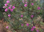 Hibiscus rose, Hibiscus splendide, Hibiscus splendens