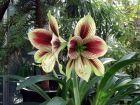 Amaryllis papillon, Hippeastrum papilio