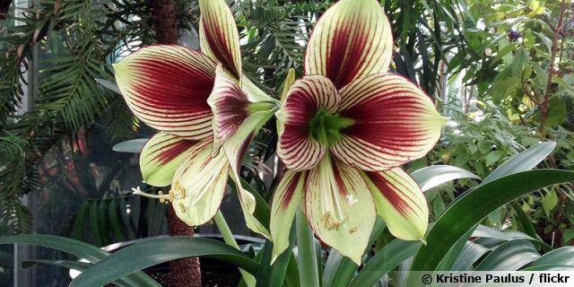"Amaryllis papillon, <span style=""font-style:italic;"">Hippeastrum papilio</span>"