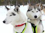 Le Husky de Sibérie, un chien venu du grand Nord