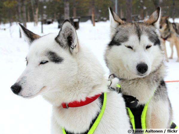 Le Husky de Sibérie, un chien d'attelage