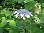 Hortensia velu, Hydrangéa velu, Hydrangea villosa