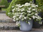 Hortensia guirlande blanc, Hortensia guirlande de la mariée, Hydrangea 'Runaway Bride'®