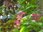 Hydrangéa grimpant du Pérou, Hydrangea peruviana