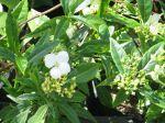 Hydrangea japonais à petites feuilles, Hydrangea scandens