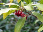 Badiane de Floride, Illicium floridanum