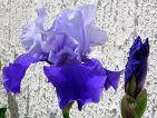 Iris des jardins bleu bi-tons
