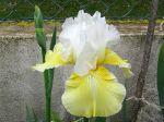 Iris des jardins, une beauté sculturale