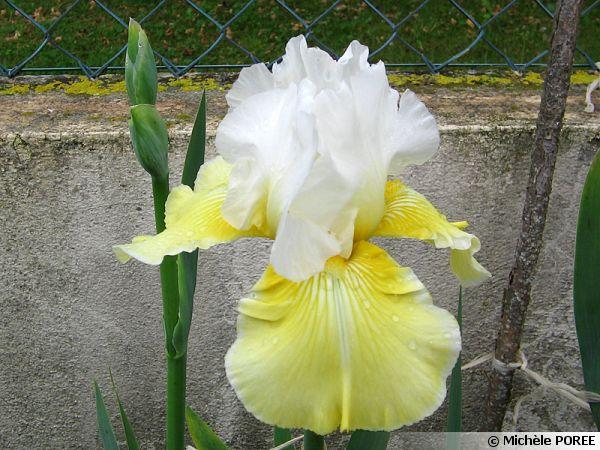 Iris citronnade