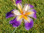 Iris 'Rhythm', surprenant iris de jardin Novelty