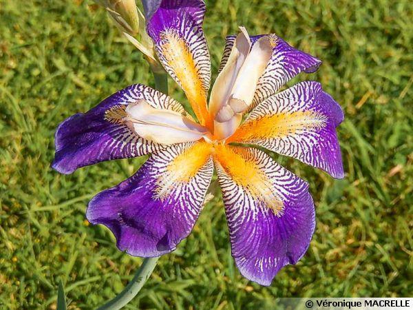 iris rhythm  iris  u0026 39 rhythm u0026 39    planter  cultiver  multiplier