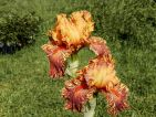 Iris novelty Broken Color 'Cheetha Cheese'