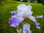 Iris novelty Spacy Age 'Oasis Hairy'