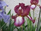 Iris plicata carmin blanc