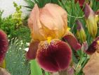 Iris poupre beige
