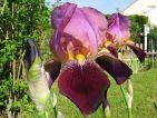 Iris pourpre deux tons