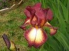 Iris provençal
