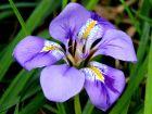 Iris d'Alger, Iris d'hiver, Iris unguicularis