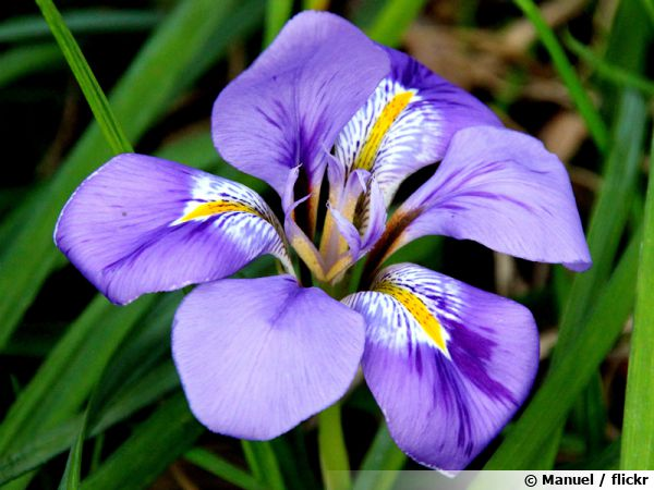 iris d 39 alger iris d 39 hiver iris unguicularis conseils de culture. Black Bedroom Furniture Sets. Home Design Ideas