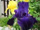 Iris des jardins violet noir