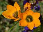 Ixia orange, Lis des blés orange, Ixia dubia