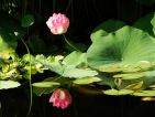 Val Rahmeh, Nelumbo nucifera, le lotus en fleurs