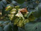 Savonnier de Chine, Arbre à pluie d'or, Koelreutère, Koelreuteria paniculata