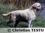 Le Labrador Retriever, le préféré des français