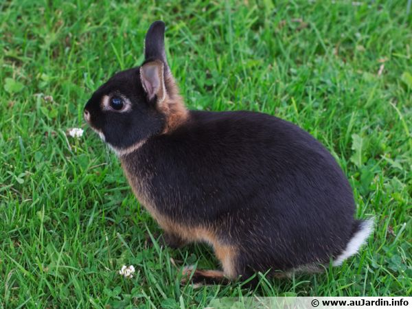 Bien choisir son lapin nain