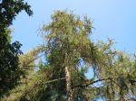 Mélèze d'Europe, Pin de Briançon, Larix decidua