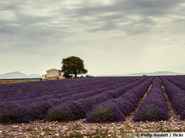 Un champ de lavandin en Provence