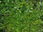 Cresson alénois, Cressonette, Passerage cultivée, Lepidium sativum