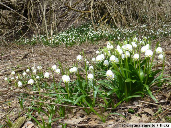 Nivéole de printemps, Grelot blanc, Leucojum vernum