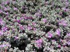 Sauge du désert, Leucophyllum frutescens