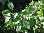 Menthe arbustive japonaise, Leucosceptrum stellipilum