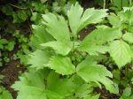 Céleri perpétuel, Livèche, Ache des montagnes, Levisticum officinalis
