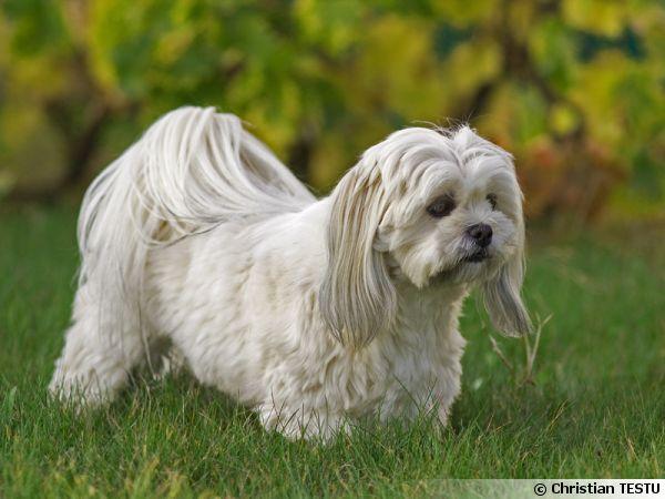 Le Lhassa Apso, un chien porte-bonheur
