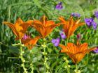 Lis orangé, Lilium bulbiferum